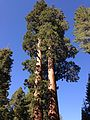 2013-09-20 09 51 14 Giant Sequoia in Grant Grove.JPG
