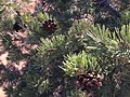 2013-09-23 16 05 31 Closeup of Pinus edulis near Goosenecks Overlook in Capitol Reef National Park.JPG