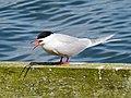 2014-05-18 Sterna hirundo, Killingworth Lake, Northumberland 06.jpg