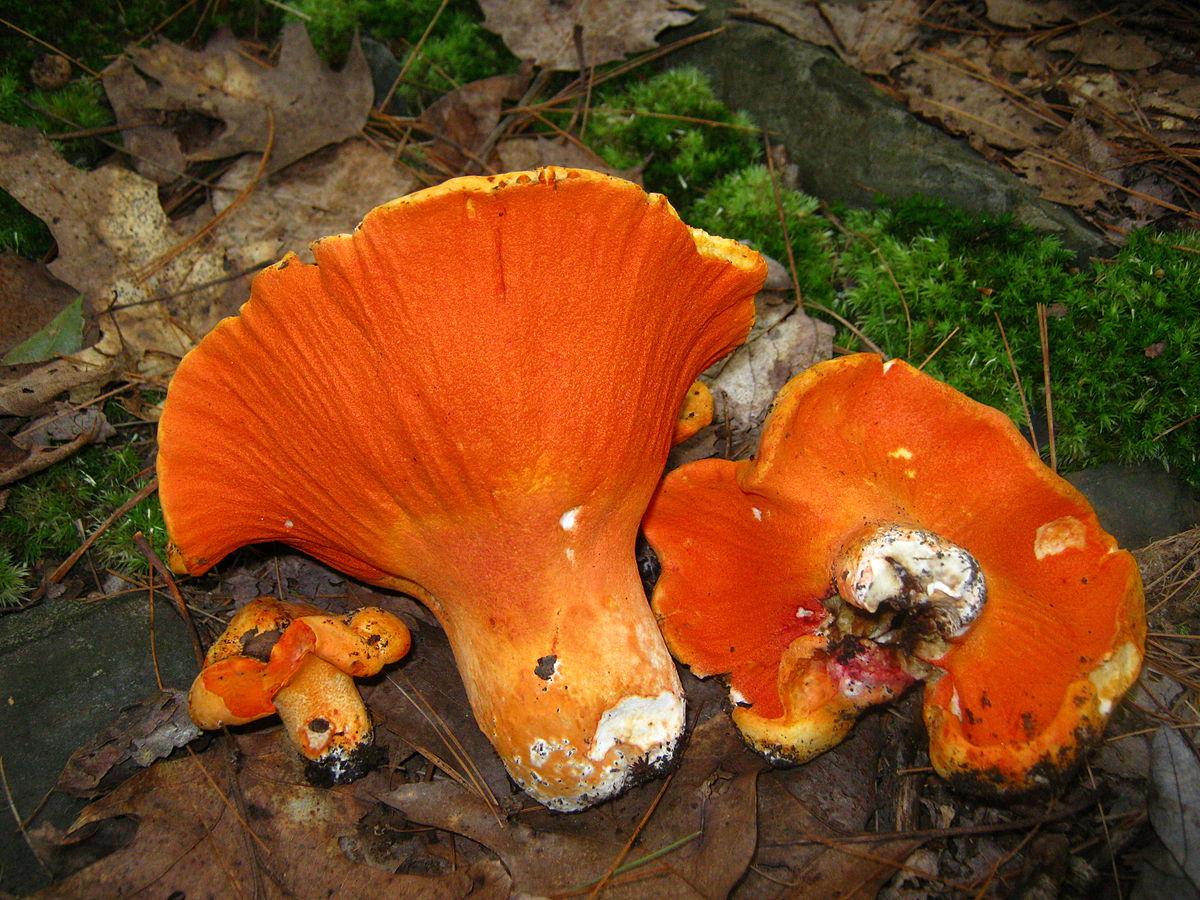 Hypomyces Lactifluorum  U2013 Wikipedia
