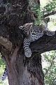 2014-11-23 107 Leopard (Panthera pardus) anagoria.JPG