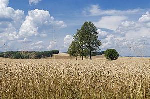 2014 Pole uprawne w Raszkowie
