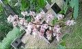 2015 Kwiat Aesculus (Kasztanowiec) 01.jpg