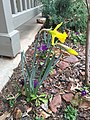 2016-03-13 14 26 51 King Alfred Daffodil blooming along Tranquility Court in the Franklin Farm section of Oak Hill, Fairfax County, Virginia.jpg