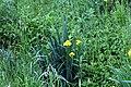 20160522 002 Kessel Weerdbeemden Gele lis Iris pseudacorus (27135091546).jpg