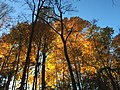 2017-11-10 15 57 32 View up into the canopy of several trees during late autumn within Hosepen Run Stream Valley Park in Oak Hill, Fairfax County, Virginia.jpg