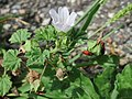 20170802Malva neglecta1.jpg