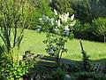 2018-05-13 (108) Syringa (white lilac) at Bichlhäusl in Frankenfels, Austria.jpg