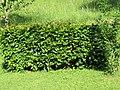 2018-05-22 (109) Carpinus betulus (European Hornbeam) at Bichlhäusl in Frankenfels, Austria.jpg