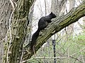 2018 Fort Tryon Park - black squirrel.jpg
