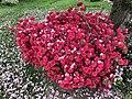 2019-04-26 08 56 20 An Azalea with red flowers beneath a Kanzan Cherry shedding flower petals along Glen Taylor Lane in the Chantilly Highlands section of Oak Hill, Fairfax County, Virginia.jpg