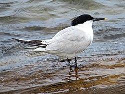 2020-07-18 Thalasseus sandvicensis, St Marys Island, Northumberland 05.jpg