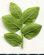 2020. Herbarium. Vaccinium myrtillus. img-018.jpg