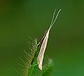 37.071 BF582 Coleophora glaucicolella M (5863537446).jpg