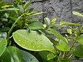 4733Common houseflies in Philippines 31.jpg