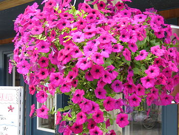 English: Overflowing petunias.