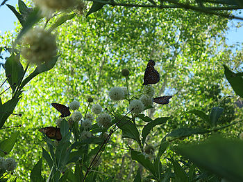 4 peak queen butterflies on button bush.jpg