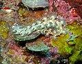 62709Tioman - 34 Pteraeolidia ianthina M (3688484889).jpg