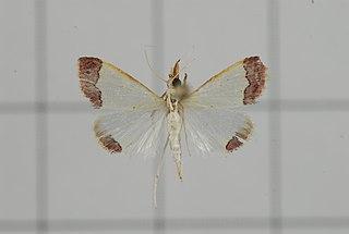 <i>Autocharis fessalis</i> Species of moth