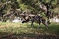 AFRICAN WILD DOG (13946603772).jpg