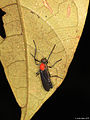A ♂ march fly (Diptera- Nematocera) from a Papuan montain rainforest (5433067774).jpg