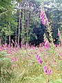 A Forest of Foxgloves at Ashridge - geograph.org.uk - 1470453.jpg