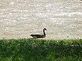 A Goose (2464719665).jpg