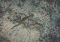 A Thin-Toed Gecko Tenuidactylus bogdanovi Nazarov et Poyarkov in Odessa.jpg