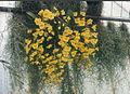 A and B Larsen orchids - Dendrobium aggregatum 739-21.jpg