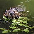 A beaver eats dinner near Horseshoe Lake on Thursday, June 29, 2017. (3cfb595a-ef10-4f2f-bde7-54a95c02f734).JPG