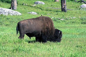 Great bison belt - A Bison in Yellowstone