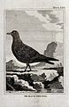 A black-toed gull. Etching with engraving. Wellcome V0022257ER.jpg