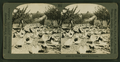 A chicken ranch in California, from Robert N. Dennis collection of stereoscopic views.png