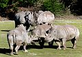 A crash of rhinos. (14156952599).jpg