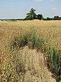 A crop of oats - geograph.org.uk - 896255.jpg