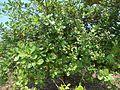 A cultivated cashew tree (Anacardium occidentale) at Pellikonda.JPG