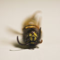 A dead wasp is a good wasp (6185936137).jpg