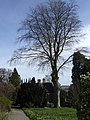 A fine beech at Hergest Croft - geograph.org.uk - 605463.jpg