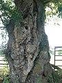 A gnarled oak, Westcott - geograph.org.uk - 246047.jpg