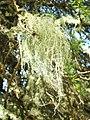 A lichen - Usnea subfloridana - geograph.org.uk - 953699.jpg