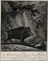 A wild boar standing in a forest clearing in front of a rock Wellcome V0021131.jpg