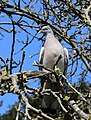 A wood pigeon at City of London Cemetery and Crematorium 04.jpg