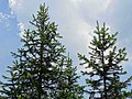 Abies pindrow India1.jpg