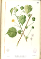 Abutilon indicum Blanco2.557-original.png