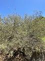 Acacia aneura var. aneura habit.jpg