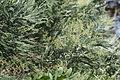 Acacia dealbata (22246590419).jpg
