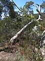 Acacia dealbata (37750303106).jpg