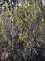 Acacia rubida (37126352044).jpg
