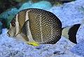Acanthurus guttatus SI2.jpg