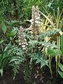 Acanthus montanus....JPG
